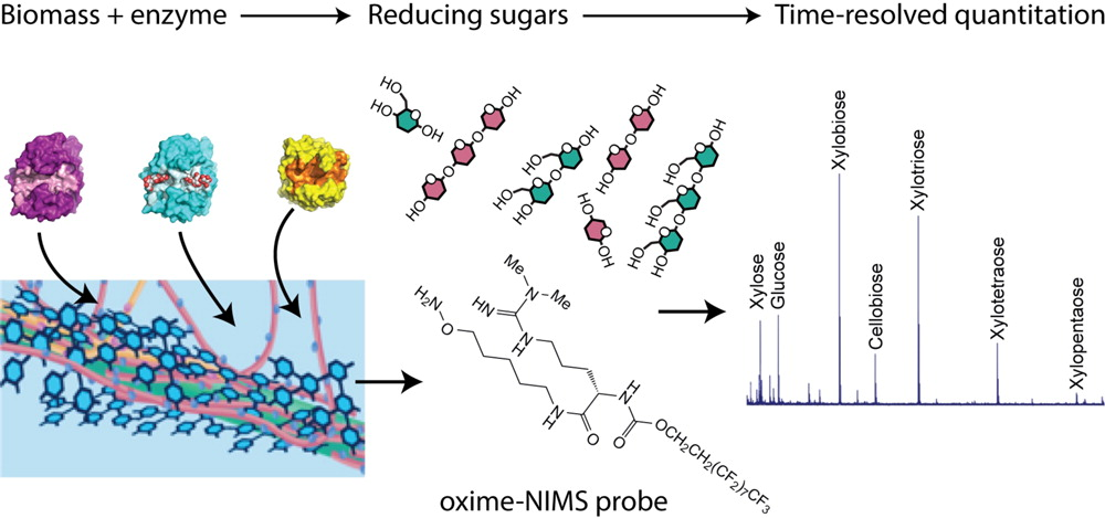 Summary of the oxime-NIMS approach. The amino-oxy group on the NIMS probe reacts with the aldehyde group in reducing sugars released from biomass by enzymatic hydrolysis. The resulting covalent adduct is then applied to a surface for subsequent mass spectral analysis.